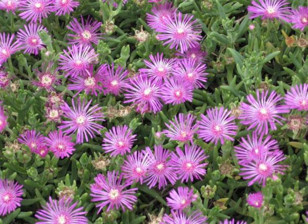 Succulents with flowers: names, characteristics and photos - Cat's claw (Lampranthus spectabilis)