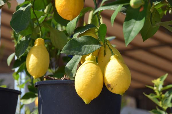 How To Plant A Lemon Tree - How Long Does It Take To Grow A Lemon Tree