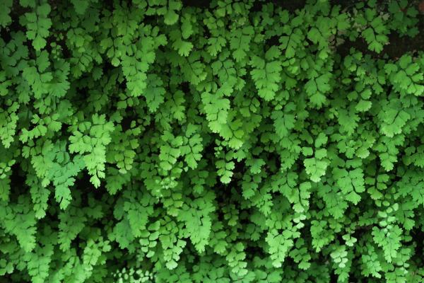Maidenhair Care - Characteristics of Maidenhair