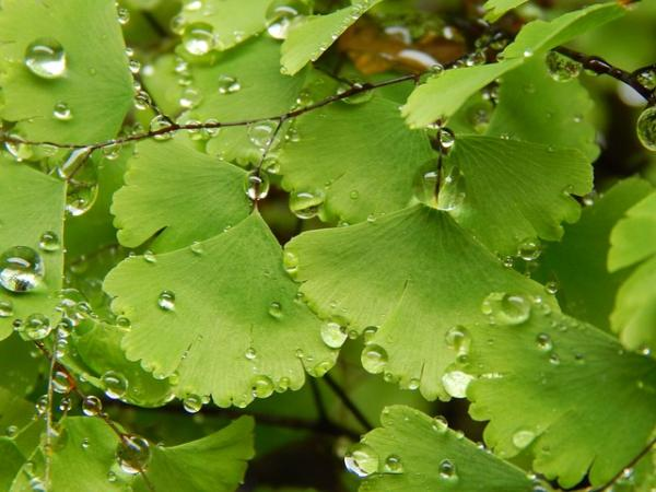 Maidenhair care - Watering the maidenhair