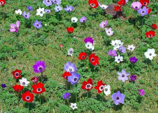 Coronary Anemone Care - Land for Anemone