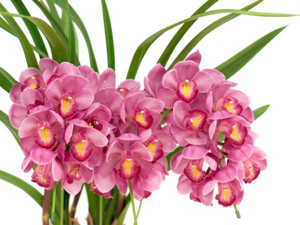 Cymbidium orchid: care - Cymbidium orchid transplant