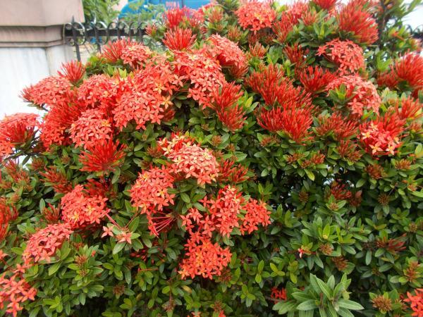 Ixora plant: care - Types and varieties of ixora plant
