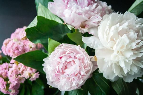 Peonies: how to care for them and their meaning - Peonies: general meaning and by colors