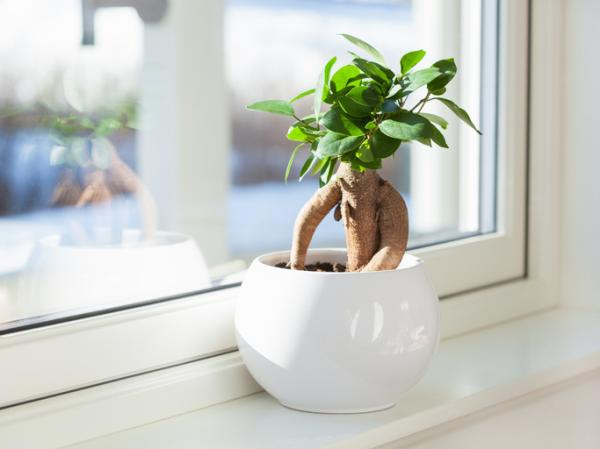 Bonsai ficus ginseng: care - Location of ficus ginseng