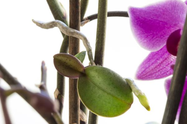 Reproduce Orchids: How To - How To Reproduce Orchids By Keikis Or Floral Rod