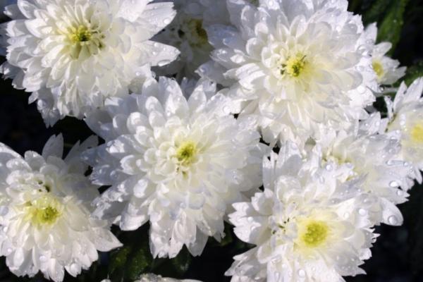 10 White Garden Flowers - White Chrysanthemum