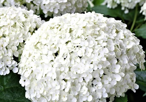 10 white garden flowers - White hydrangeas for the garden