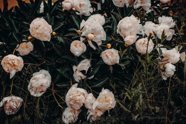 10 White Garden Flowers - White Peonies