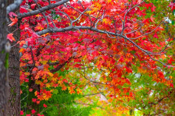 20 Ornamental Trees - Canada Maple
