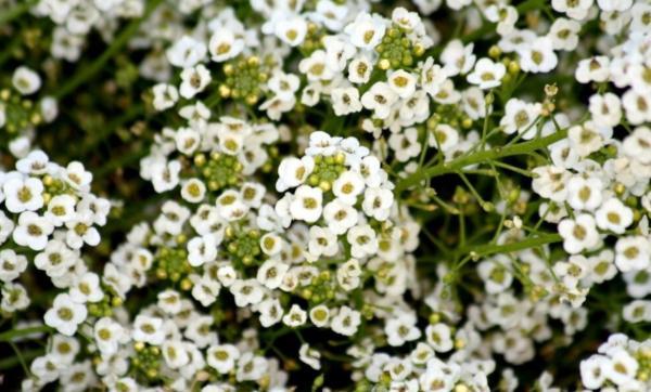 22 spring flowers - Alder