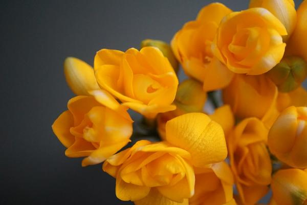 +20 plants with yellow flowers - Yellow freesias, very fragrant flowers