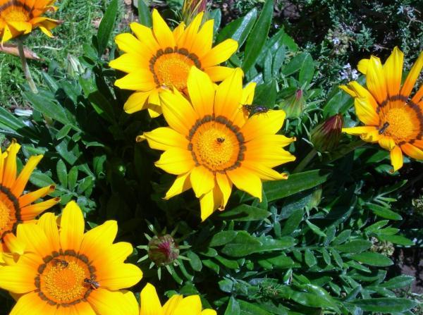 +20 plants with yellow flowers - Gazania