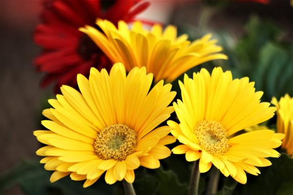 +20 plants with yellow flowers - Gerbera, one of the little-known plants with yellow flowers
