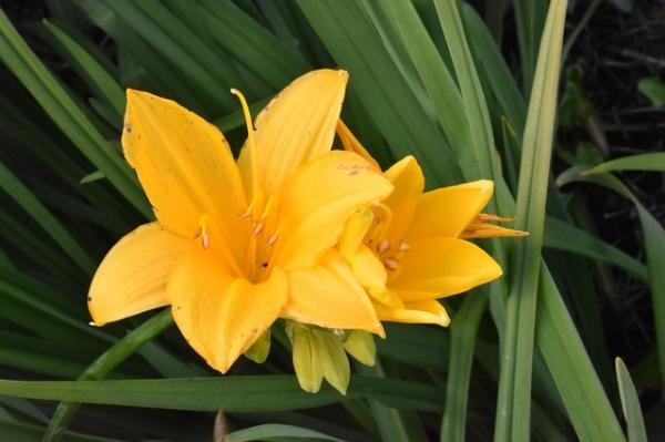 +20 plants with yellow flowers - Yellow lily
