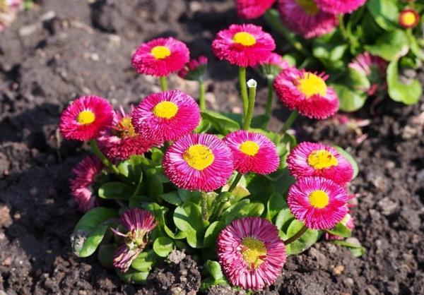 22 Spring Flowers - Lesser Daisy