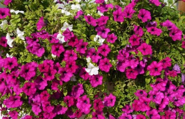 22 spring flowers - Petunia