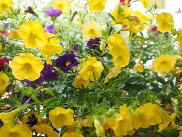 +20 plants with yellow flowers - Petunia calibrachoa yellow