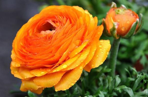 22 spring flowers - Ranunculus