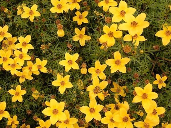 +20 plants with yellow flowers - Yellow Verbena