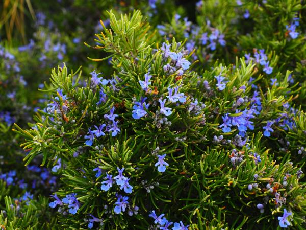 Indoor and outdoor anti-fly plants - Rosemary