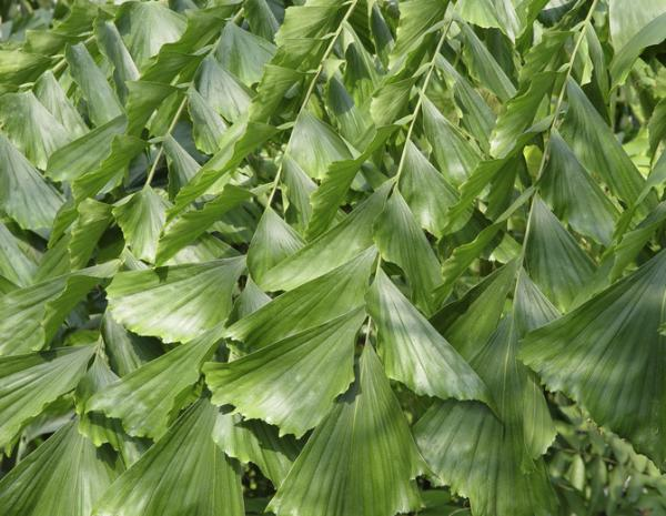 Indoor palm trees: names, characteristics, care and photos - Caryota mitis or fishtail palm