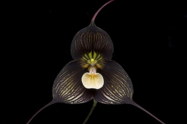 Names of the most exotic flowers in the world - Dracula Orchid