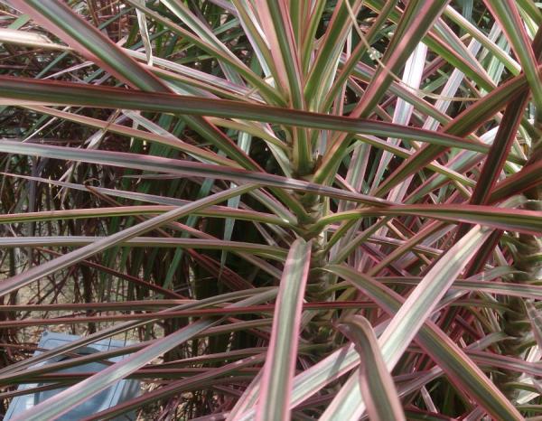 +25 indoor plants that need little light - fine-leaved dracena