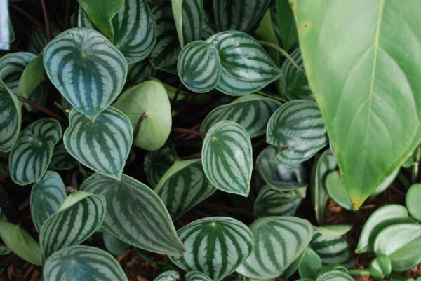+25 indoor plants that need little light - Peperomia
