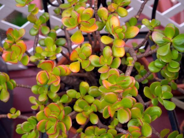 25+ Indoor Plants That Need Low Light - Indoor Jade Plant or Tree
