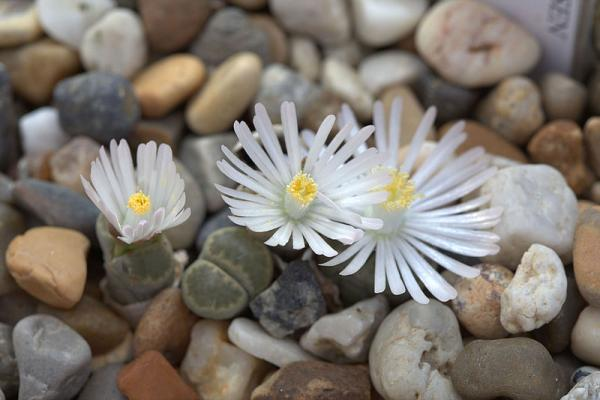 Stone cactus or lithops: care - Stone cactus or lithops care - practical guide
