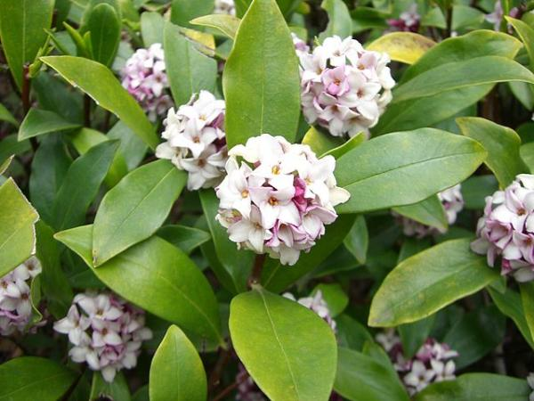 Acidophilic plants: what they are, examples and care - Daphne odora or dafne