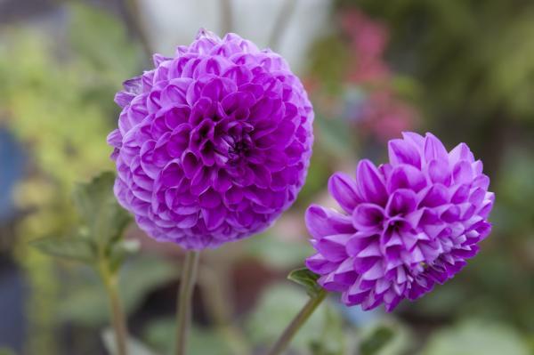 16 garden plants with sun-resistant flowers - Dahlia or dahlia