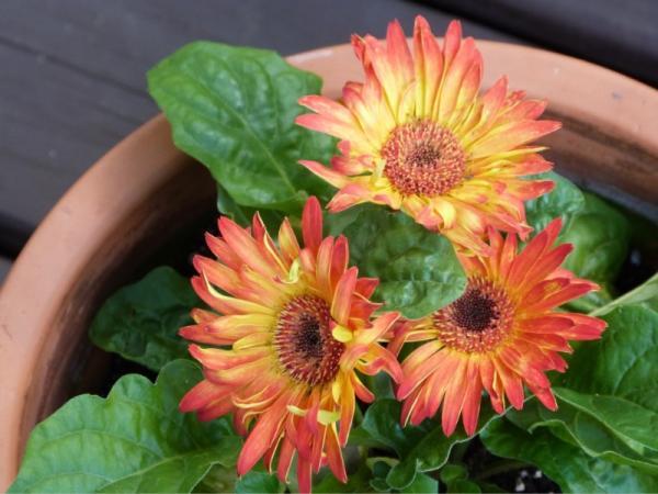 16 garden plants with sun resistant flowers - Gerbera