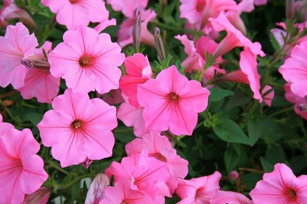 16 Sun Hardy Flowering Garden Plants - Petunias