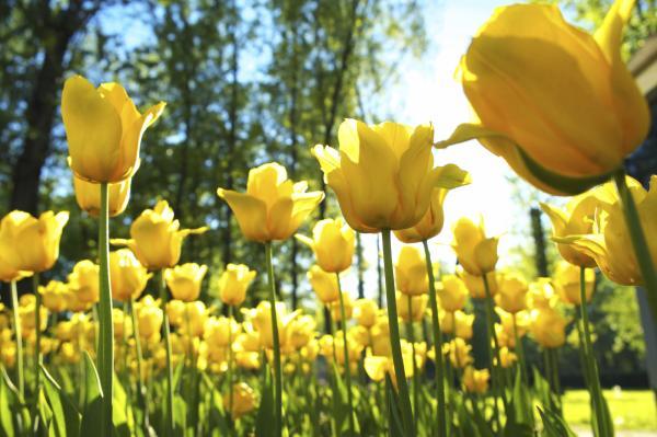 16 garden plants with sun resistant flowers - Tulips