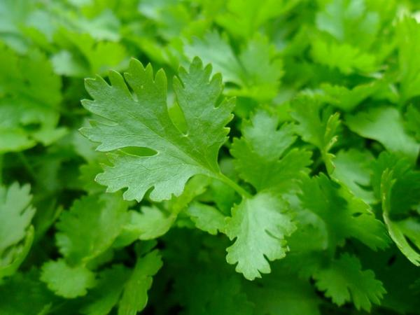 Parsley care - Parsley: medicinal properties and benefits