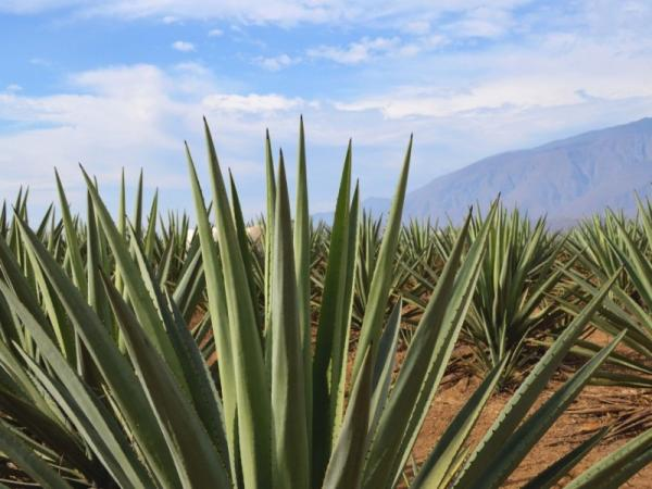 25 names of desert plants - Agave or maguey