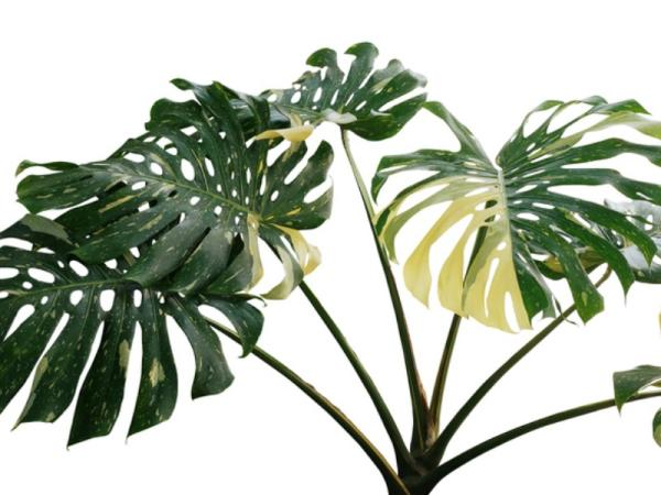 Adam's rib plant or Monstera deliciosa: care - Why does my Adam's rib plant have yellow leaves