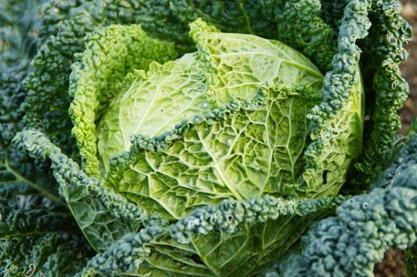 Cabbage Types - Kale or Kale