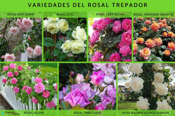 Climbing roses: care and pruning - Climbing roses: varieties and characteristics
