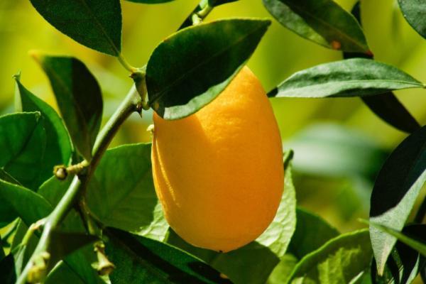 Types of lemon trees - Meyer