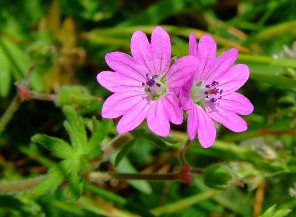 23 types of geraniums - Geranium columbinum L.