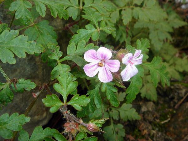 23 types of geraniums - Geranium purpureum