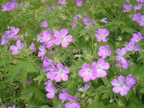 23 types of geraniums - Geranium sylvaticum L.