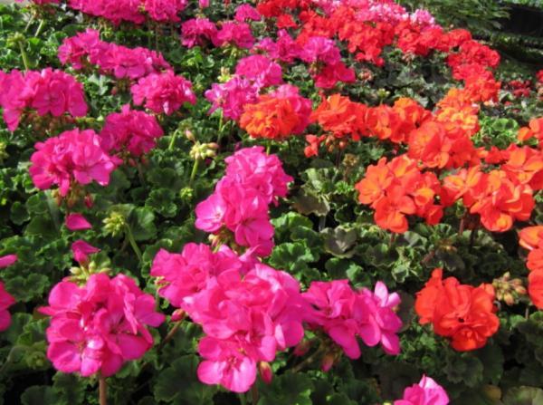 23 types of geraniums - Pelargonium hortorum
