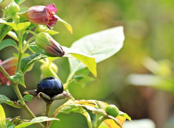 What are the most poisonous plants in the world - Belladonna