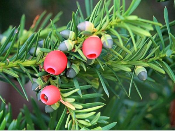 What are the most poisonous plants in the world - Common yew or black yew