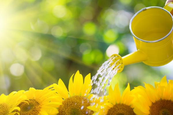 How to care for sunflowers - How to water sunflowers