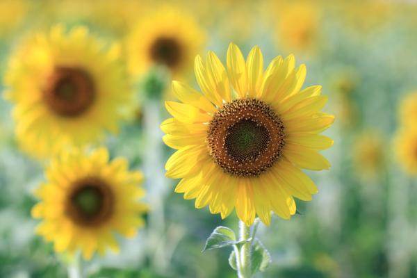 How to care for sunflowers - How long does it take for a sunflower plant to grow?